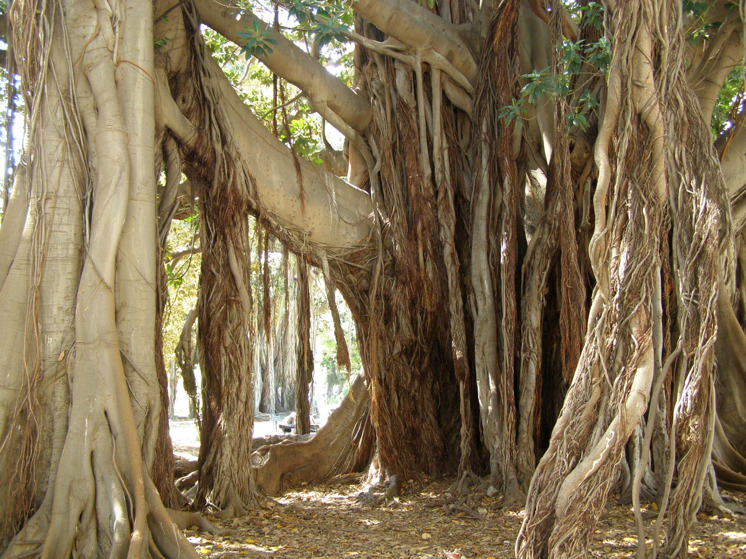drzewo w ogrodzie w Palermo